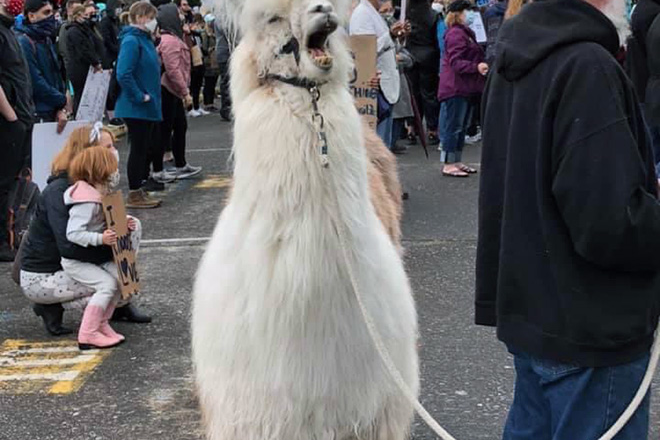 "Meet Caesar: Also Known As ""The No Drama Llama"" That Keeps Protesters And Police Calm"